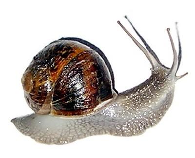 Irish Snail